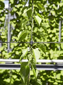 Greening Ropes for Green Walls